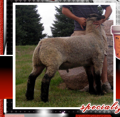 Newton Club Lambs and Show Supplements